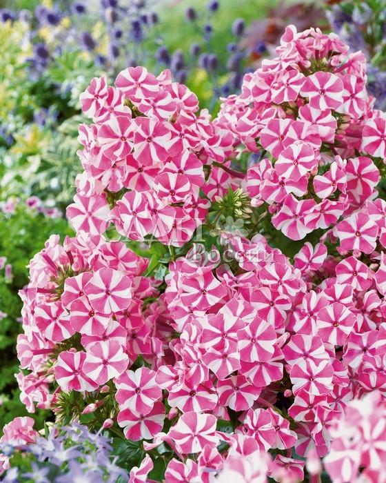 Флоксы Мятный твистФлоксы метельчатые<br>Нарядный, очень привлекательный сорт с редкой, розовой в белую полоску окраской лепестков. <br>Обладает нежным мятным запахом. Цветки крупные до 4 см в диаметре собраны в большие шапки соцветий.<br>