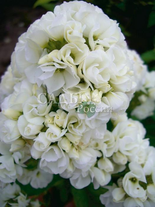 Флоксы ТиараФлоксы метельчатые<br>Cказка наяву! Первый и единственный махровый сорт флокса с крупными кипенно-белоснежными цветками, <br>собранными в большие, достаточно плотные соцветия с тонким <br>приятным ароматом.<br>