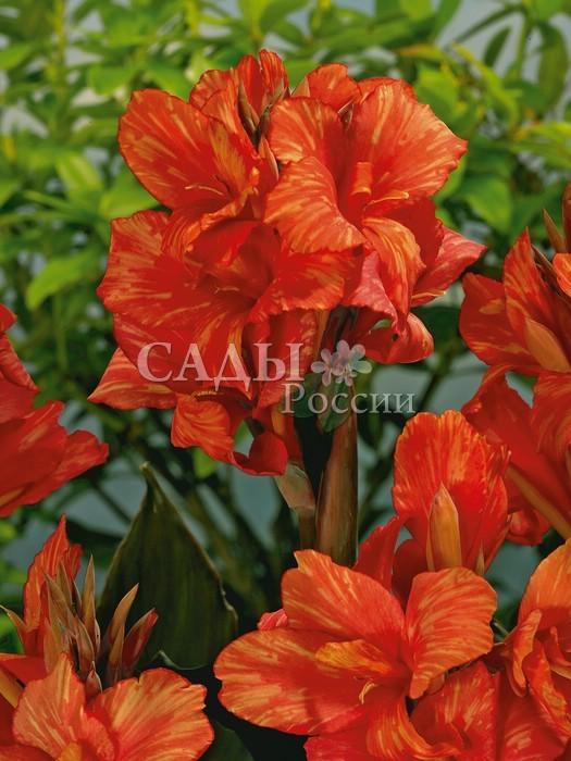 Канны СаладинКанны<br>Изумительная игра <br>оттенков насыщенного, багрово-красного <br>цвета на крупных с волнистыми, бархатными <br>лепестками цветках.<br>