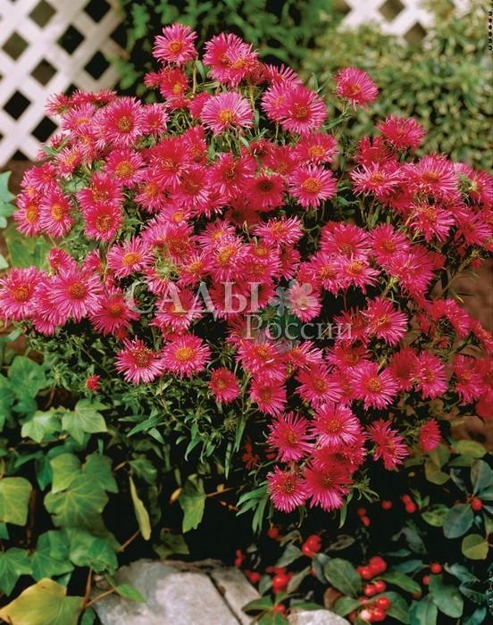 Астра Алма ПотшкеАстра новоанглийская<br>Астра новоанглийская. <br>Красивый, яркий куст с <br>насыщенной пурпурно-розовой окраской соцветий.<br>