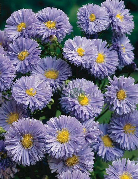 Астра Мари БаллардАстра новобельгийская<br>Астра новобельгийская.<br><br> <br><br><br> <br>Прелесть, как хороша! Цветки <br>махровые, крупные, бледно-голубые с лёгким лиловым оттенком и <br>выразительным жёлтым центром.<br>
