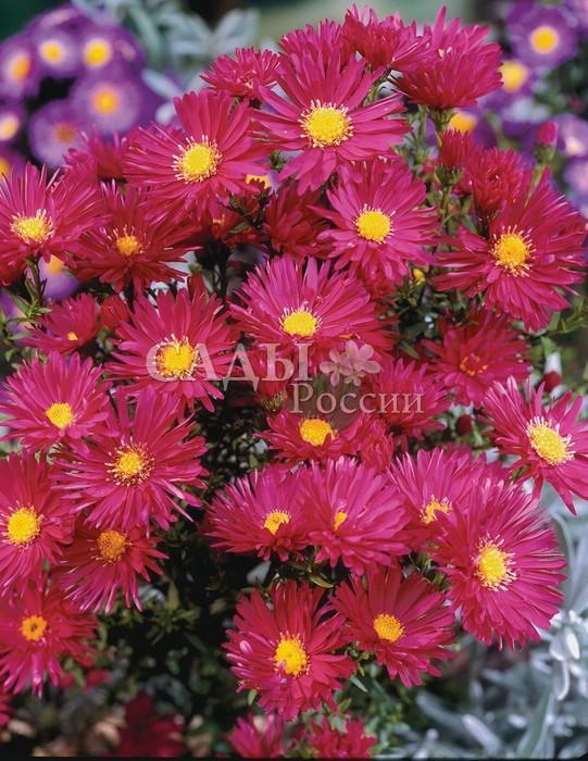 Астра Королевский рубинАстра новобельгийская<br>Астра новобельгийская.<br><br>Вызывающе красивая  королева осени. Цветки полумахровые, рубиновые с <br>ярким жёлтым глазком.<br>