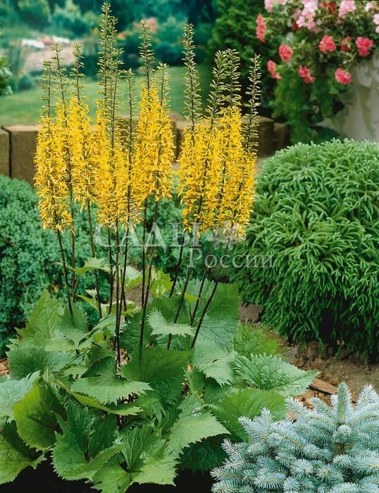 Бузульник ПржевальскогоБузульник<br>Высокие свечи жёлтых соцветий согреют мягким<br>светом летнего дня самые затенённые участки сада.<br>
