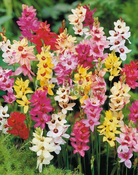 Иксия разноцветнаяИксия<br>Мозаика из семейства<br>Ирисовые. Красивые воронковидные цветки, собранные в колос<br>или кисть, по 6—12 шт., на тонких прочных цветоносах.<br>