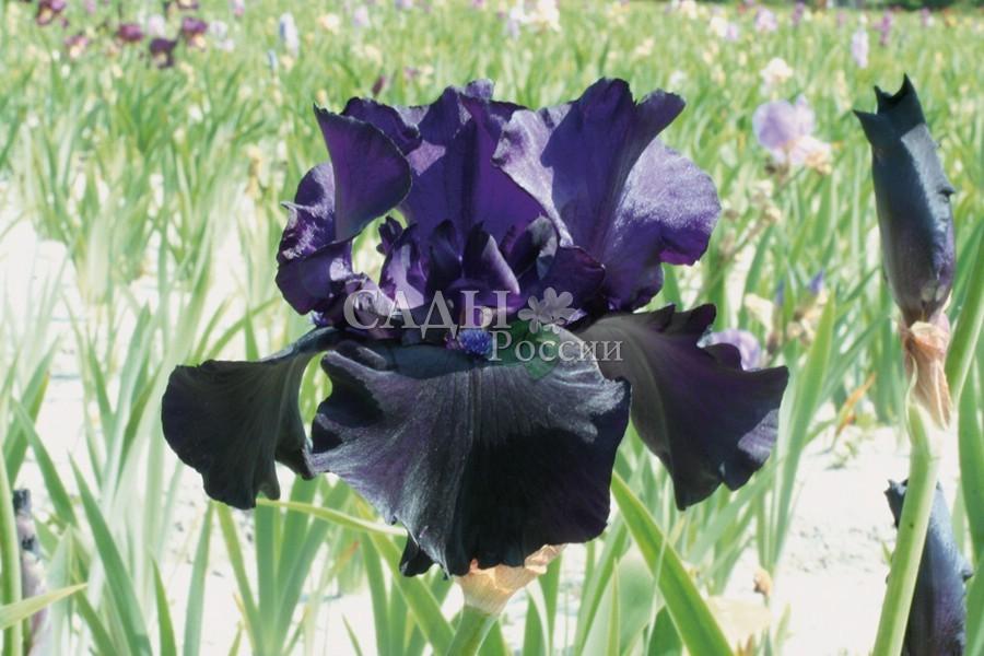 Ирисы Чёрный драконИрисы бородатые<br>Эксклюзивный <br>одноцветный сорт с бархатными чернично-чёрными с фиолетовым оттенком цветами и <br>чёрно-фиолетовой бородкой.<br>