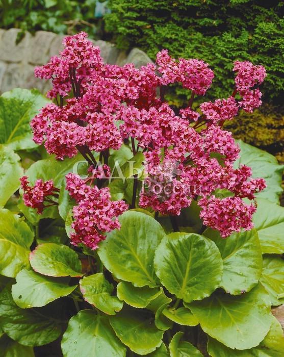 Бадан Утро красноеБадан<br>Один из немногих<br>сортов, цветущих повторно осенью.<br>