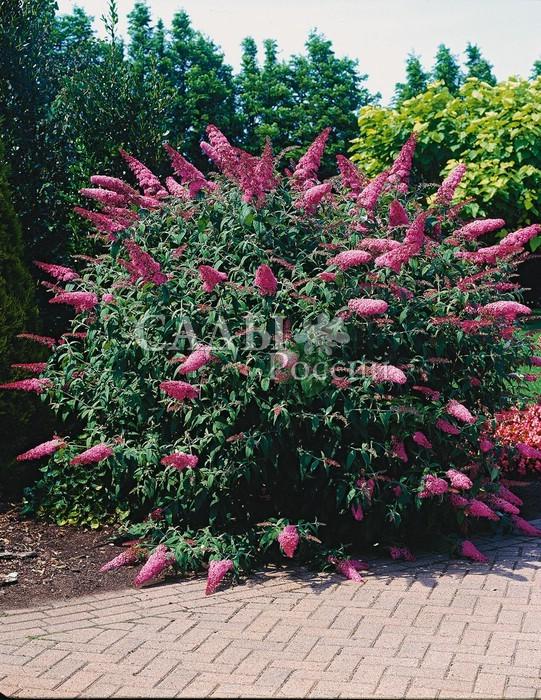 Будлея Розовый восторгБуддлея<br>Восхитительное, волнующееся <br>облако перламутрово-розовых соцветий. Высота куста до 1,5—2 м и  <br>более.<br>