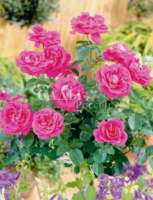Розы ВековаяКанадские розы<br>Чудесное достижение <br>селекции XX века. Цветки крупные, 7—8 см в диаметре, <br>махровые, с волнистыми лепестками цвета розовой <br>орхидеи.<br>