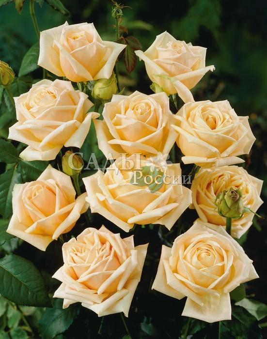 Розы Бриллиантовая свадьбаЧайно-гибридные розы<br>Знает<br>цену прекрасному. Великолепные цветки, подобны огранённому алмазу. Очень крупные, в диаметре до 15 см, чашевидные, махровые, с искусно отточенными лепестками цвета<br>слоновой кости.<br>