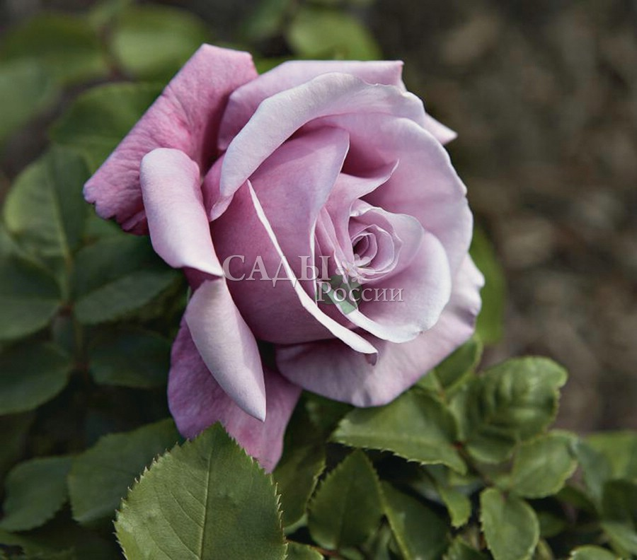 Розы Вальс (Валтс Тайм)Чайно-гибридные розы<br>Крупные бокаловидные цветки с шёлковыми лепестками нежно-сиреневых и серебристо-лиловых<br>оттенков, как волнующая, головокружительная мелодия вальса, увлекают и завораживают.<br>
