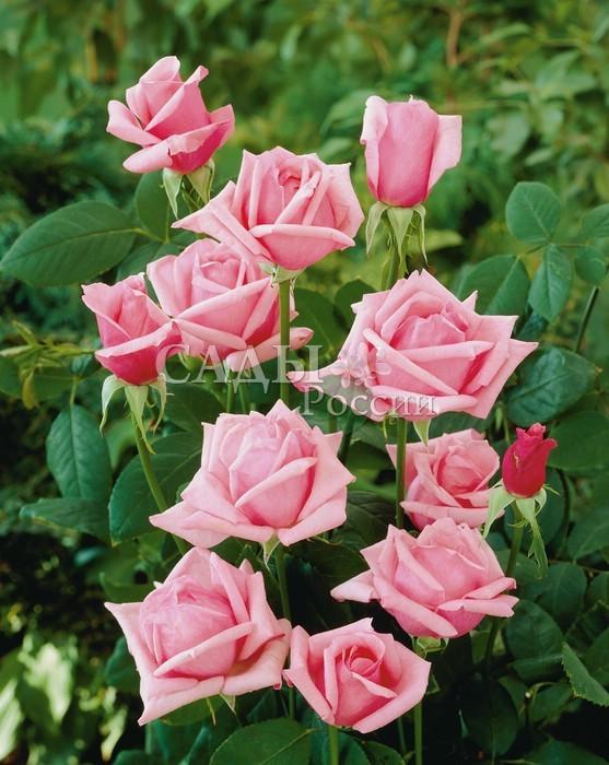 Розы КаринаЧайно-гибридные розы<br>Всегда изысканна и элегантна. Цветки<br>крупные, бокаловидные, в любую погоду изящны и привлекательны, с неизменной нежно-розовой окраской лепестков<br>и насыщенным, очень приятным ароматом.<br>