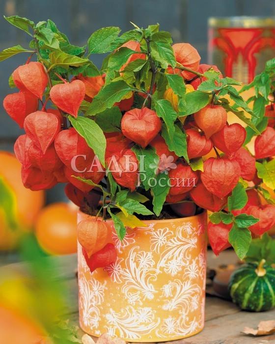 ФизалисФизалис<br>Китайские фонарики в вашем саду и дома.  <br> <br><br><br>30-60 см.<br>