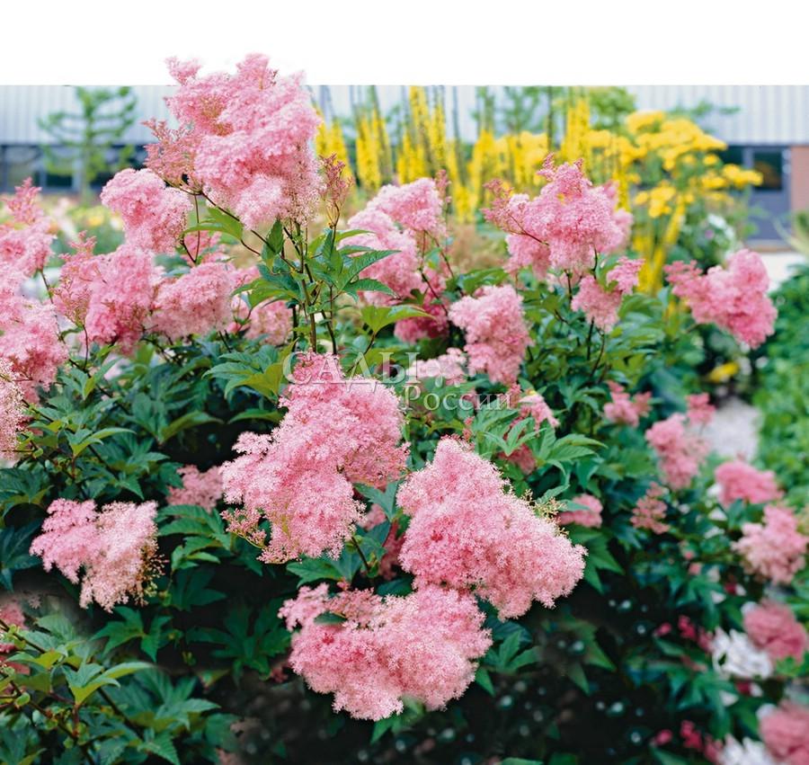 Лабазник ВенустаЛабазник<br>Высокая, стройная краса-девица, пышная,<br>нарядная. Просто загляденье! В выразительном рисунке<br>крупных насыщенно-зелёных листьев огромные и пушистые<br>метельчатые ярко-розовые соцветия.<br>