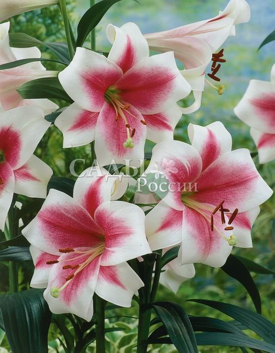 Лилии ТриумфаторЛилии длинноцветковые<br><br>