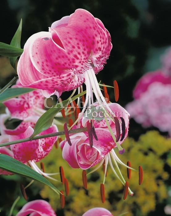 Лилии Прекрасная УчидаЛилии крупные видовые<br><br>