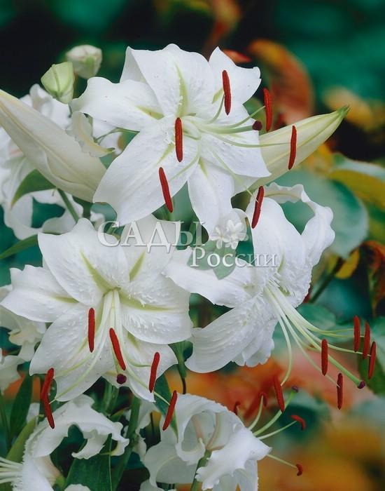 Лилии Прекрасная АльбаЛилии крупные видовые<br><br>