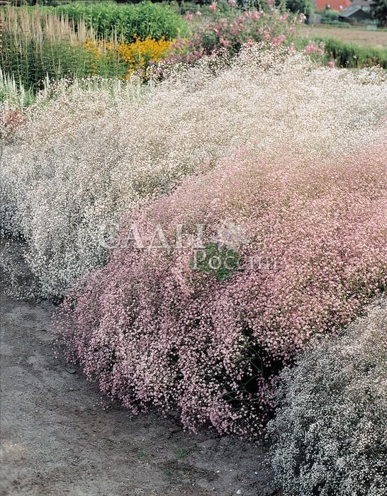 Набор гипсофил: Розовая и БелаяГипсофила<br>Гипсофила продаётся в комплекте, который <br>состоит из двух розовых и двух белых растений.<br>