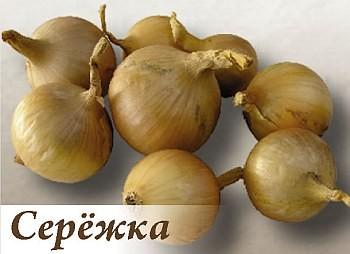 Лук СерёжкаЛук семейный крупный<br>Луковицы округлые, очень плотные, жёлтого цвета.<br>