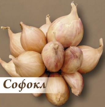 Лук СофоклЛук семейный крупный<br>Луковицы округлые, красно-коричневого цвета.<br>