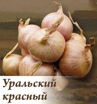 Лук Уральский красныйЛук семейный крупный<br>Луковицы округло-плоские, насыщенного бордово-красного цвета.<br>