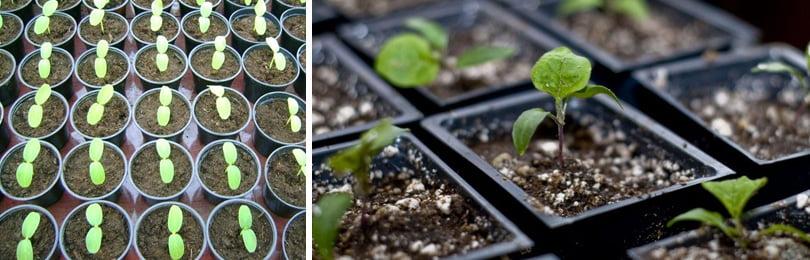 Где можно выращивать баклажаны в открытом грунте