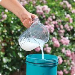 Как вырастить гладиолусы? Подкормки под гладиолусы вносят в жидком виде, чтобы питательные вещества лучше усваивались