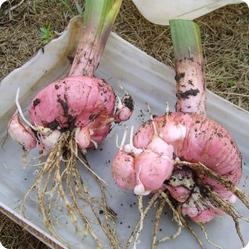 Как вырастить гладиолусы? Луковицы гладиолуса недостаточно зимостойкие, поэтому их каждый год выкапывают и хранят до следующего лета.