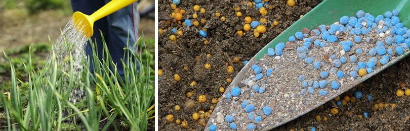 Как вырастить гладиолусы? Глубина посадочной ямки должна соответствовать трем диаметрам луковицы плюс 2 сантиметра, так как на дно ямки именно таким слоем укладывают песок в качестве дренажа.