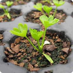 Как вырастить сельдерей? Семена и рассада
