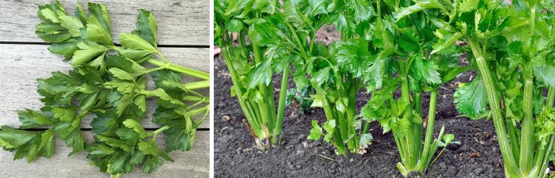 Как вырастить сельдерей? Листовой, черешковый и корневой