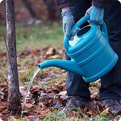 Как ухаживать за грушей? Поливать саженцы нужно еженедельно, а взрослые растения – не чаще двух раз в месяц.