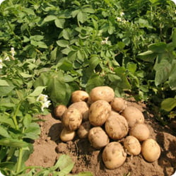 Как вырастить картофель богатый витаминами на своем участке
