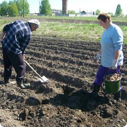 Как посадить картофель: посадка «под лопату»