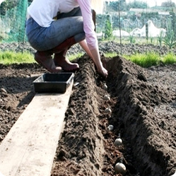Как посадить картофель: посадка в траншеи