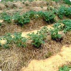 Как посадить картофель: посадка в солому