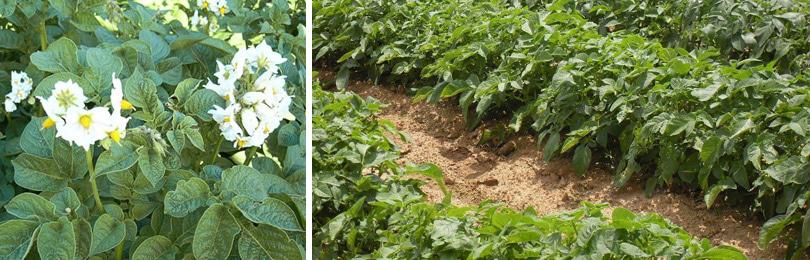 Как вырастить картофель?