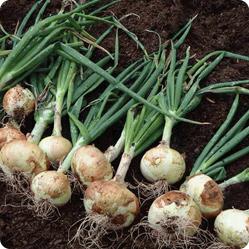 Как вырастить репчатый лук?
