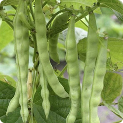 Как вырастить фасоль?