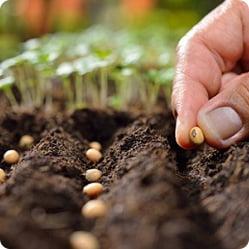 Как вырастить фасоль? Семена раскладывают в бороздки глубиной 3 см на расстоянии 8 см друг от друга. Расстояние между рядами – 30 см.