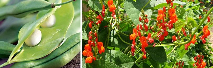 Как вырастить фасоль на своем огороде и какие сорта лучше выбрать?
