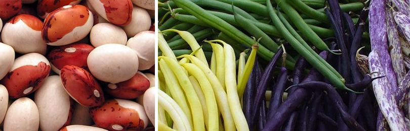 Главное достоинство фасоли – высокое содержание растительного белка, который с успехом способен заменить белок животный в рационе человека.