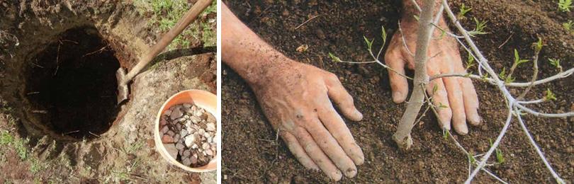 Посадка груши. Почвы груша любит легкие, рыхлые и очень плодородные с нейтральной реакцией (рН 6,8 – 7,0).