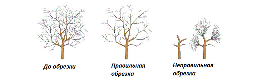 Как обрезать взрослые плодовые деревья: правильный и неправильный способы