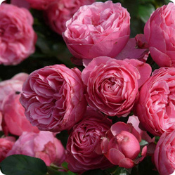 Какие розы дарят девушкам- какой цвет розы выбрать и к чему принято дарить эти цветы-