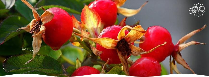 Можно ли выращивать шиповник в домашних условиях?