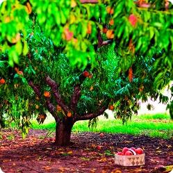 Важность осенних удобрений для плодовых деревьев на зиму