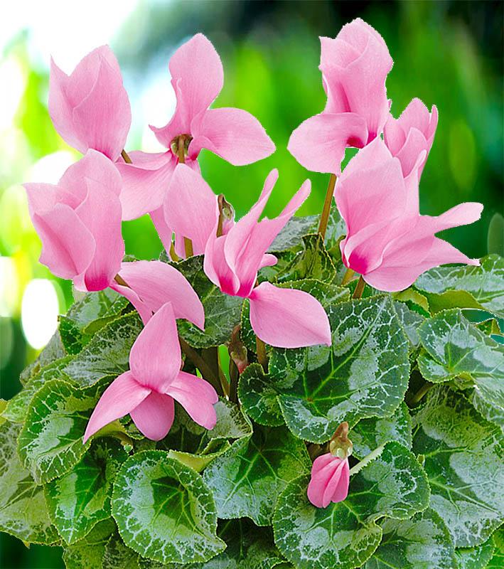 Цикламен Розовый с глазком персидский