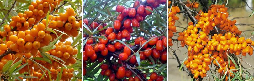 Новейшие сорта облепихи: высокоурожайные, зимостойкие, среднерослые, крупноплодные и без шипов