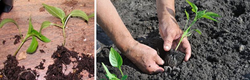 Как вырастить перец? Перец очень плохо переносит пересадку, поэтому сразу сейте семена в стаканчики диаметром 5 см – по 2 семени в каждый.