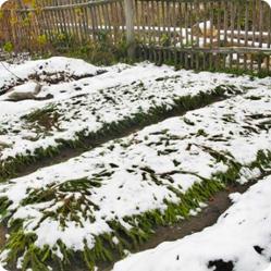 Чтобы провести подзимний посев семян в мерзлую землю, их количество увеличивают в 1,5 раза